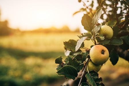 hojas de arbol: Manzanas verdes en el �rbol Foto de archivo