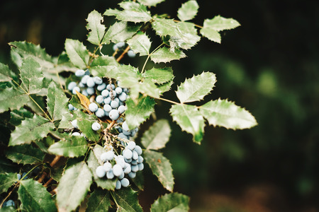 grassing: Oregon-grape Stock Photo