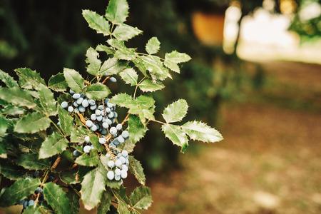 grassing: Oregon-grape Stock Photo