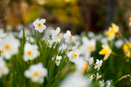 finders: Poets daffodil in the garden Stock Photo