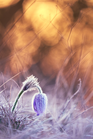 pasque: Frozen Pasque flower
