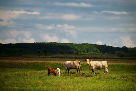 calves: Cows and calves on pasture Stock Photo
