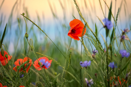 cornflowers: Poppy and cornflowers on a summer meadow