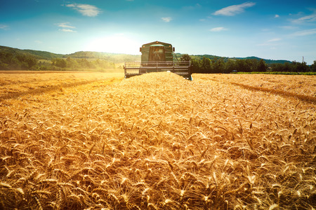 Harvester machine to harvest wheat field working Stock Photo - 59789789