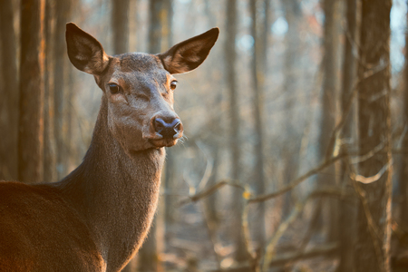 rutting: Fallow deer in the forest Stock Photo