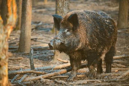 formidable: Wild boar, sus scofa