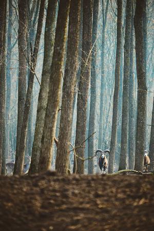 mouflon: Mouflon male in winter forest