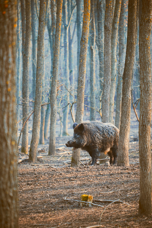 wild boar: Wild boar, sus scofa