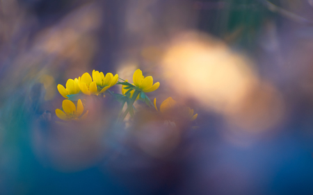 Pastel colored yellow winter aconite flower