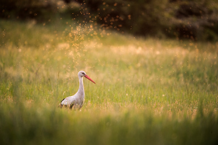 White stork on a meadow