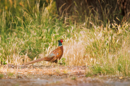 Pheasant on the meadow