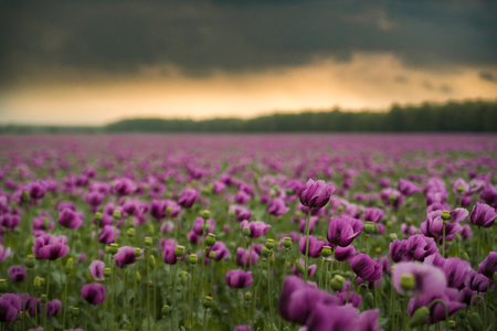 Opium poppy field with overcast dramatic sky