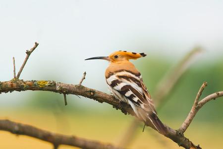 Eurasian Hoopoe, Common Hoopoe or Upupa epops, the beautiful brown bird on a tree branch Stock Photo