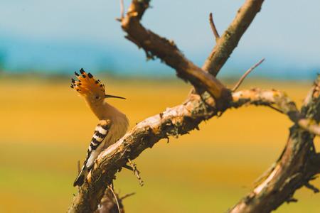 Eurasian Hoopoe, Common Hoopoe or Upupa epops, the beautiful brown bird on a tree branch Reklamní fotografie