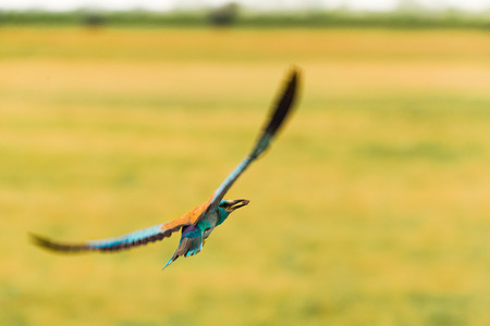 European roller flying