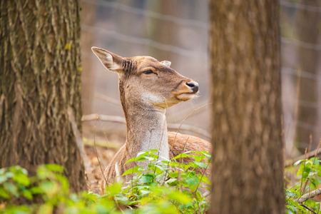 Female fallow deer portrait photo
