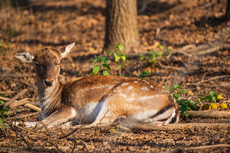 Female fallow deer in the forest