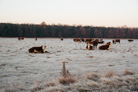 Group of cows on the winter pasture