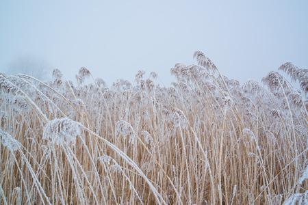 Snow on frozen reed