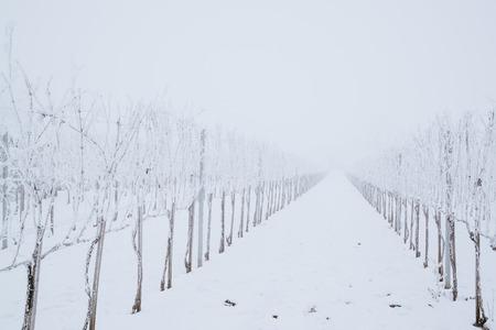 Winter frosty vineyard landscape 스톡 콘텐츠