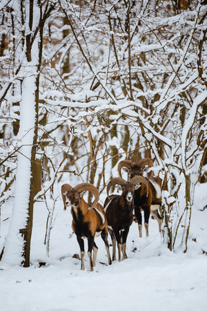 Group of mouflon ram in the winter forest Reklamní fotografie