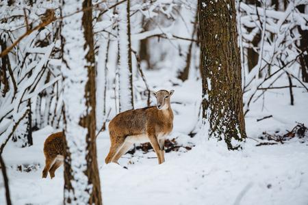 Female mouflon in winter forest