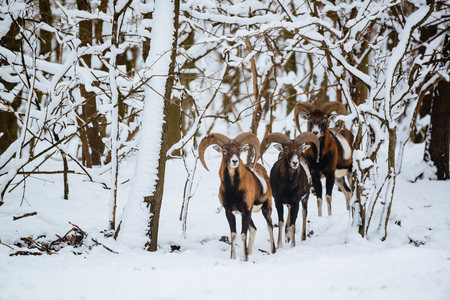 Group of mouflon ram in the winter forest Stock Photo