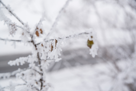 Close up photo of frozen leaf on a tree in winter forest Stock Photo