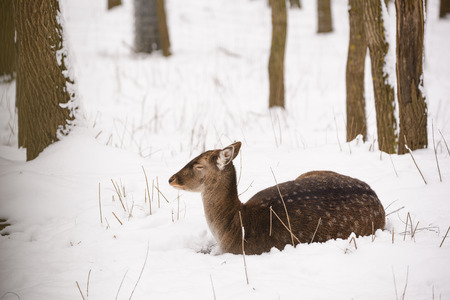 Female fallow deer lying on the snow in the winter forest