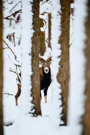 European mouflon ram in the winter forest