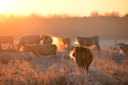 Group of cows on morning pasture in soft warm backlight Stock Photo