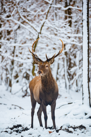 Red Deer Cervus elaphus buck in the winter forest