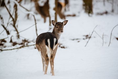 Female fallow deer dama dama in the winter forest