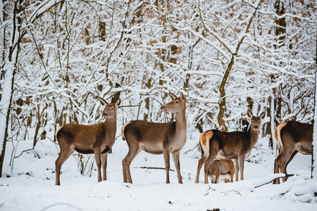Female red deer in the winter forest