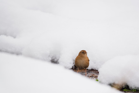 Eurasian wren on the snow Stock Photo