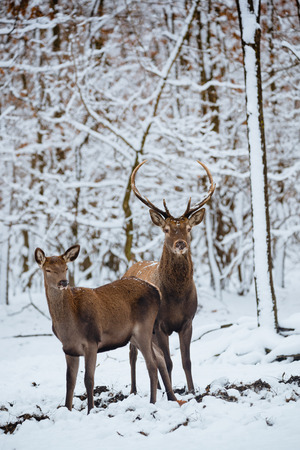 Female and Buck Red deer in the winter forest