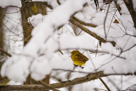 Yellowhammer bird on tree branch