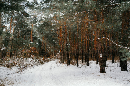 Road in winter pine forest