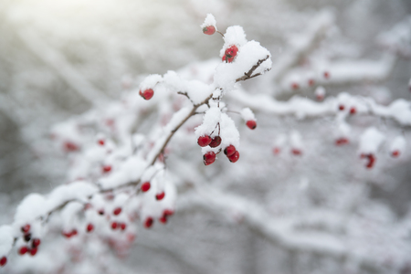 Red rosehip on a snow covered bush