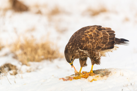 Common buzzard eating meat on the snow