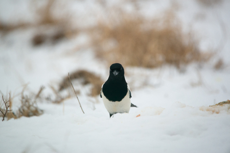 Photo of magpie bird on the snow