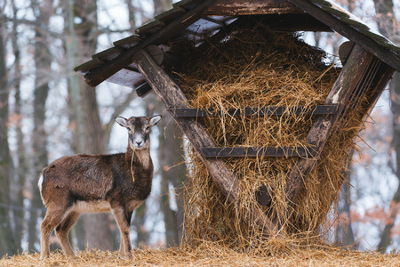 Mouflon eating from the animal feeder in winter forest