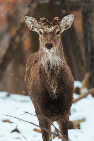 Sika deer winter forest