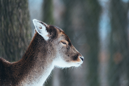 Female fallow deer in winter forest