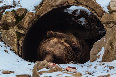 Oso pardo durmiendo en la cueva. Foto de archivo