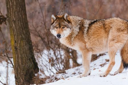 Loup dans la forêt d'hiver