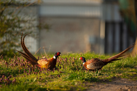 Pheasant birds Stock Photo - 123330964