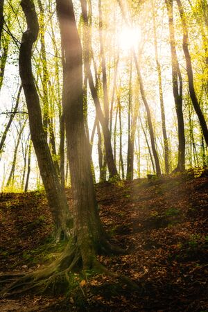 Sunrays in the green forest