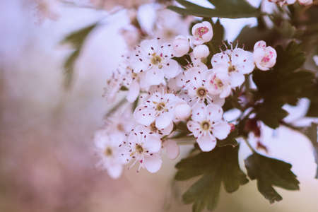Close-up photo of a white blossom on a tree, soft blurry background in pastel colors