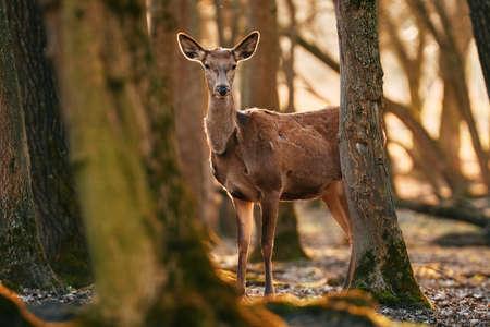 Female red deer in the woods